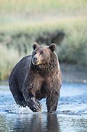 Brown Bear fishing at Silver Salmon Creek Lodge in Lake Clark National Park