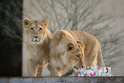 © Licensed to London News Pictures. 12/12/2012. London, UK. Asian Lion cubs Heidi and Indi, investigate a meat laden Christmas present left by a keeper as an early festive treat at London Zoo today (12/12/12). Photo credit: Matt Cetti-Roberts/LNP