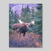 Alaska.  Denali National Park and Preserve. Bull Moose. (Alces alces) in fall.  Male moose (bulls) weigh over 550kg (1200lb) on average.      Although generally timid, the males become very bold during the breeding season.
