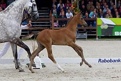 61 - Gufrieda<br /> KWPN Paardendagen 2011 - Ermelo 2011<br /> © Dirk Caremans