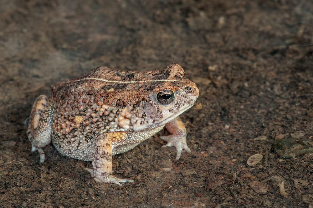 Tremolo sand frog (Tomopterna cryptotis)<br /> Marataba, A section of the Marakele National Park, Waterberg Biosphere Reserve<br /> Limpopo Province<br /> SOUTH AFRICA<br /> HABITAT & RANGE: Variety of habitats in savanna and grassland