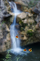 Mexican Hat wildflowers in front of waterfall, Block Creek Natural Area, Hill Country region, Texas, USA