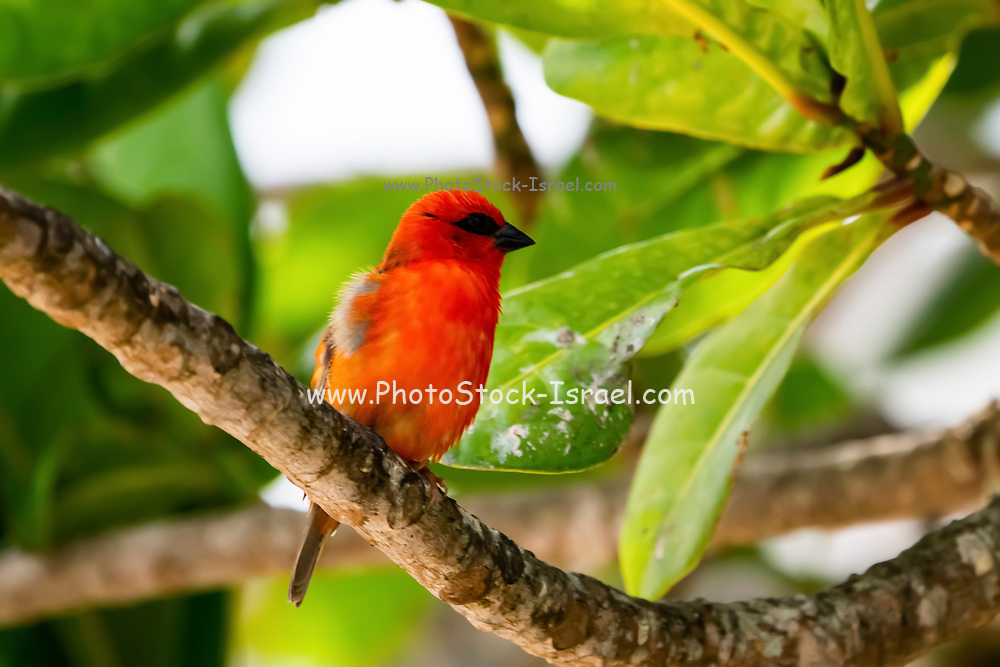Common fody. Male. Common, or Red Fody (Foudia madagascariensis) on a branch. Photographed on Bird Island, Seychelles. in October