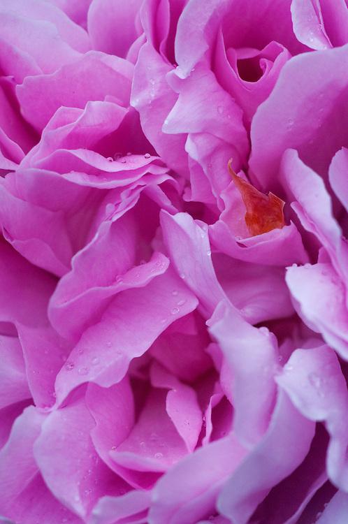 Pink Rose, Seattle, Washington, US