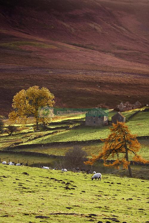 July 21, 2019 - Sheep On A Hill, North Yorkshire, England (Credit Image: © John Short/Design Pics via ZUMA Wire)
