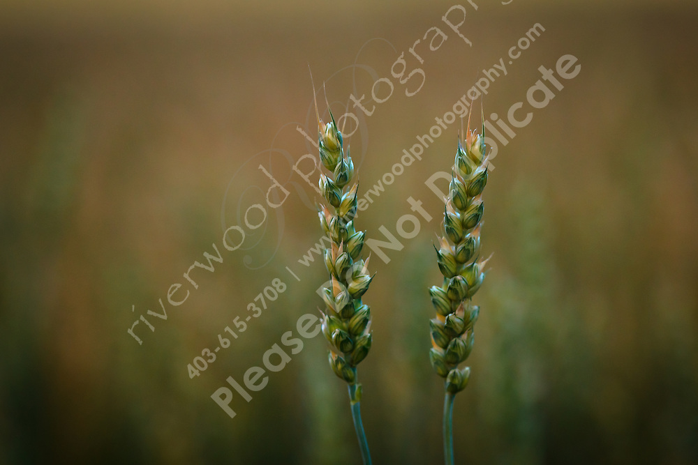 Closeup image of a stalk of wheat in a farm field...©2010, Sean Phillips.http://www.RiverwoodPhotography.com