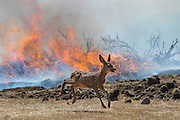 A deer runs from the flames of the Springs Fire near Calle Valle Vista in Newbury Park on May 2, 2013.