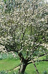 Malus 'High Canon' in blossom