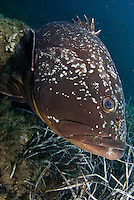 Dusky Grouper (Epinephelus marginatus) - 'endangered' in IUCN Red List - by seagrass<br /> France: Corsica, Lavezzi Islands, Cala di Grecu