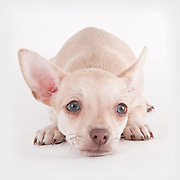 The animals in this portfolio were all photographed while they were waiting to be adopted in the Tri-Cities, WA. The cats are all featured in my book Shelter Cats while the puppies were photographed as possible subjects for my Shelter Puppies book.<br /> <br /> This canvas has been sold.