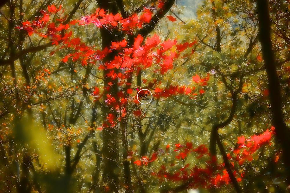 Little Red Sapling, Brownstown Skyline trail
