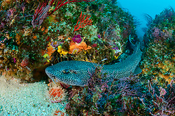Poroderma pantherinum, Leoparden Katzenhai im Korallenriff, Leopard catshark in Coralreef, Porth Elizabeth, Suedafrika, Indischer Ocean, Algoa Bay, Porth Elizabeth, Südafrika, Suedafrika, Indischer Ocean