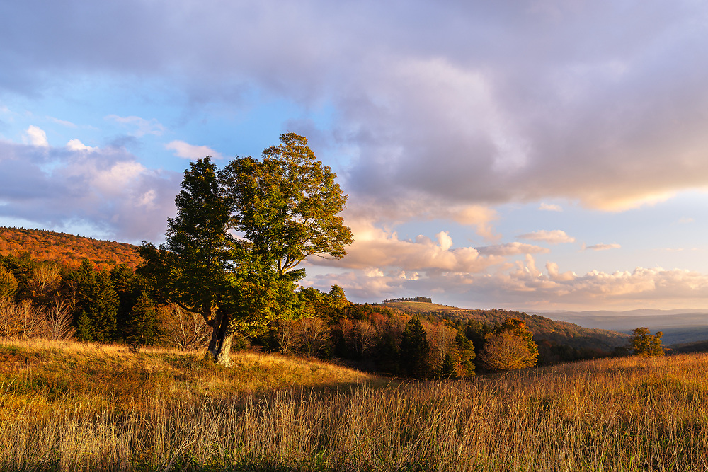 A lone maple stands at the edge of a high mountain meadow adjoining the Spruce Knob Mountain Center overlooking the distant ridges of the Allegheny Front in West Virginia during a colorful autumn sunset.