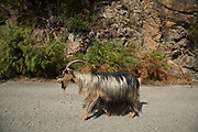 Corsican goat, primarily used for the production of milk, Ota, Corsica, France. The Corsican goat, A Capra corsa, has been on the island for thousands of years and now accounts for almost all of the region's goat population, more than 45,000 animals. The Corsican goat is a dairy animal characterized by its hardiness, adaptability to the climate and island environment, and its ability to thrive in the brush. Its long hair provides protection from thorns while robust limbs and powerful hooves enable these goats to move easily on difficult terrain.