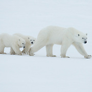 A mother polar bear and her two cubs of the year. Cape Churchill, Hudson Bay, Manitoba.