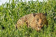 Männlicher Jaguar (Panthera onca) im Pantanal, Porto Jofre, Brasilien<br /> <br /> Male jaguar in the Pantanal, Brazil