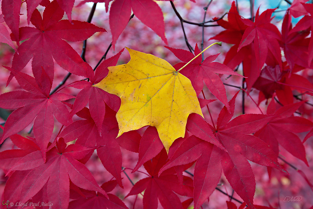 As autumn leaves fall, a yellow Norway Maple leaf (Acer platanoides) comes to rest naturally on the branches of a Japanese Maple (Acer palmatum) in Belmont, Massachusetts.