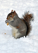 © Licensed to London News Pictures. 21/01/2013. Westminster, UK A squirrel eats a nut. Snow in the Royal Park, St James Park, in Central London today 21 January 2013. Photo credit : Stephen Simpson/LNP