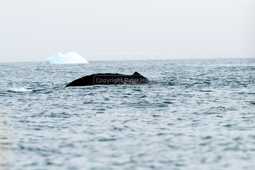 A humped back whale swims in front of an iceberg in Antarctica on Friday 16 February 2018.