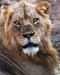 Male Lion Portrait, South Africa. What is he thinking? Boy these photographers are annoying or that rotund one would be more satiating than an impala.