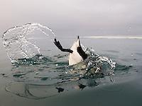 Brünnich's Guillemot, Uria lomvia, diving near the bird cliff on Spitsbergen, Svalbard, Norway.