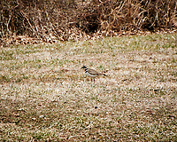 Killdeer near the Sourland Mountain Preserve Pond. Image taken with a Nikon 1V2 camera and 10-100 mm lens (ISO 160, 100 mm, f/5.6, 1/500 sec).