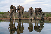 Plain zebras (Equus quagga) drinking from a water hole in Zimanga Private Reserve, South Africa.