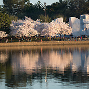 The famous cherry blossoms in Washington DC in full bloom reflected on the still waters of the Tidal Basin. The MLK Memorial is at right.