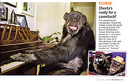 InTouch Magazine (US), 14th July 2008 Page 75..EXCLUSIVE 24th June 2008, Palm Springs, California. 76-year-old Cheeta, star of many Hollywood Tarzan films of the 1930s and 1940s, is coming out of retirement. Recognized as the oldest chimpanzee alive, the Palm Springs resident has just signed a record deal. To celebrate the signing, Cheeta made a promo music video to accompany his cover of the 1975 hit song 'Convoy'. PHOTO © JOHN CHAPPLE / www.johnchapple.com<br /> tel: +1-310-570-9100