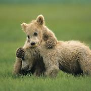 Alaskan Brown Bear (Ursus middendorffi) young cubs playing. Alaskan Peninsula