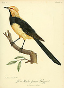 MERLE JAUNE HUPPÉ from the Book Histoire naturelle des oiseaux d'Afrique [Natural History of birds of Africa] Volume 3, by Le Vaillant, François, 1753-1824; Publish in Paris by Chez J.J. Fuchs, libraire 1799 - 1802