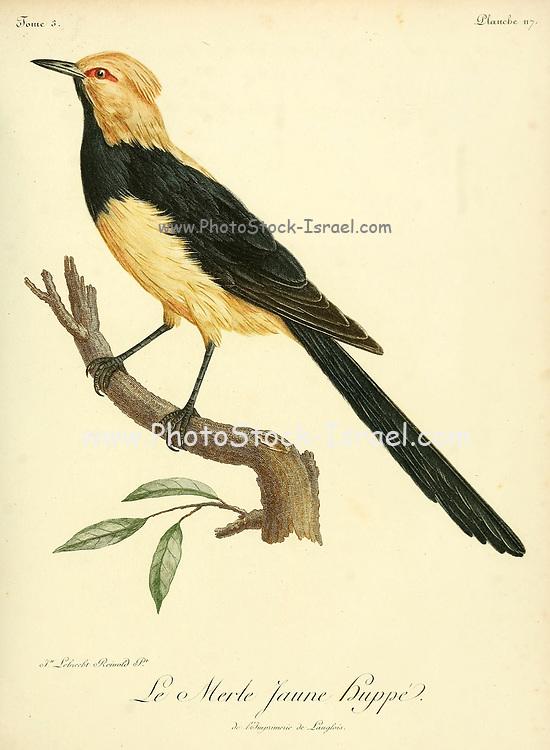 MERLE JAUNE HUPPÉ from the Book Histoire naturelle des oiseaux d'Afrique [Natural History of birds of Africa] Volume 3, by Le Vaillant, François, 1753-1824; Publish in Paris by Chez J.J. Fuchs, libraire 1799 - 1802