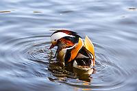 Norway, Stavanger. Mandarin Duck in Mosvannet lake.