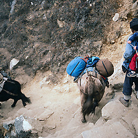 A Sherpa yak herder carries 3-year old trekker Ben Wiltsie along the Everest Base camp trail in the Khumbu region of Nepal.