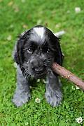Henry, a nine week-old blue roan english cocker spaniel puppy.