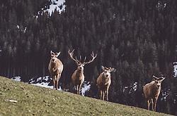 THEMENBILD - ein Rothirsch mit Hirschkühe auf einer Wiese in einem Wildtiergehege, aufgenommen am 07. März 2019 in Aurach, Oesterreich // a red deer with red deer hind on a meadow in a wild animal enclosure in Aurach, Austria on 2019/03/07. EXPA Pictures © 2019, PhotoCredit: EXPA/ JFK