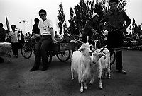A pair of goats on their way into Turfan animal market, China.