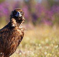 Black Vulture (Aegyptus monacha) Extremadura, Spain. April 2009