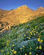 Wildflowers above Short Canyon, Owens Peak Wilderness, California
