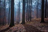 Sonian Forest, Foret de Soignes, or Zoniënwoud, Brussels, Belgium