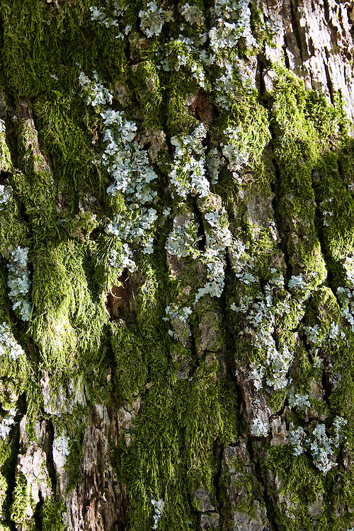 Lichen and moss covered tree bark, Lake District, England, United Kingdom