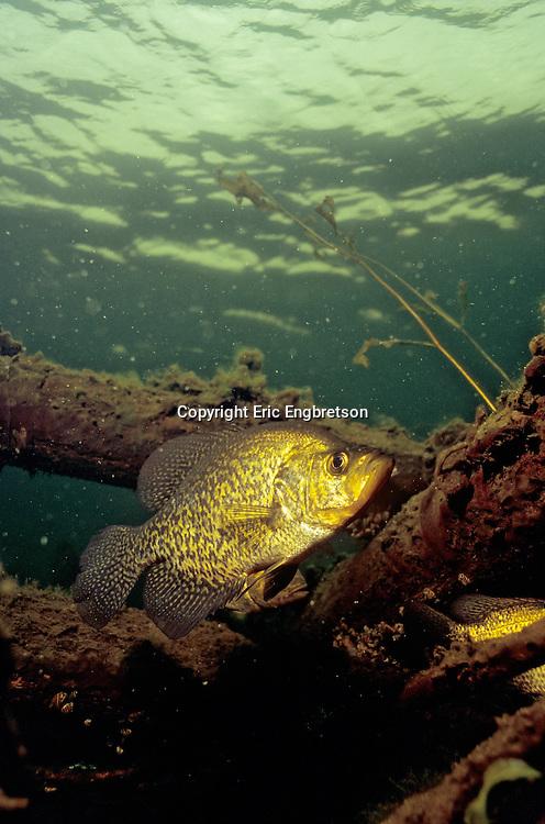 Black Crappie near Fish Crib<br /> <br /> Engbretson Underwater Photography