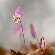 Erythronium dens-canis, Bois de la Mine, Messeix, Puy de Dôme, France