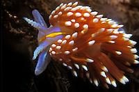 Spanish Shawl Nudibranch (Flabellina iodinea) - Channel Islands National Marine Sanctuary