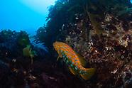 Othos dentex (Harlequin fish)