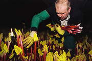 Graham Oldroyd pulling rhubarb by candlelight, E. Oldroyd and sons Ltd, Carlton, Wakefield, West Yorkshire, UK. February is high season for the forced rhubarb of the so-called 'Rhubarb Triangle' formed by Wakefield, Rothwell and Morley. These intensely flavoured plants with pink stems and yellow leaves - grown by candlelight and tended by hand in huge, heated forcing sheds - are one of the first culinary delights of the British winter.