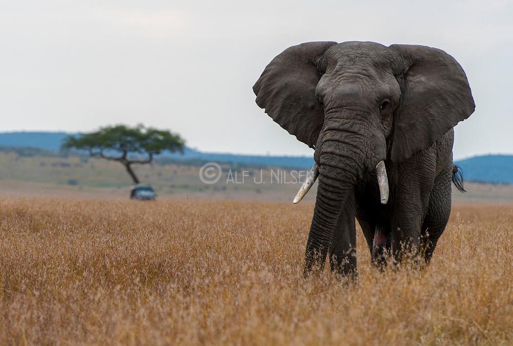 African elephant (Loxodonta africana) on the savannah of Maasai Mara, kenya.
