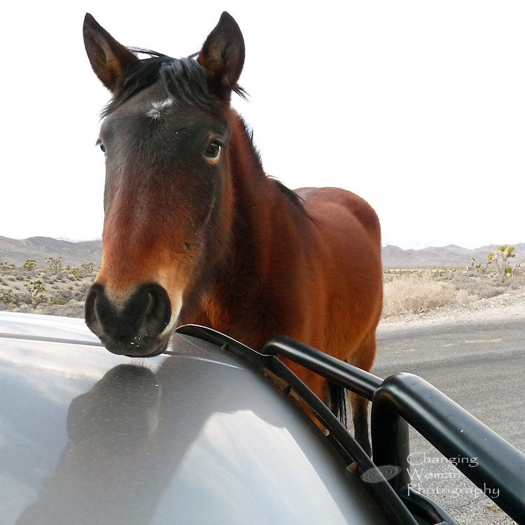 Curious mustang with expectation of an apple reward for modeling studies the photographer