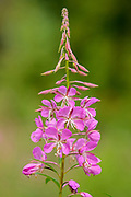 Fireweed (Epilobium sp.) at Bow Lake<br />Banff National Park<br />Alberta<br />Canada