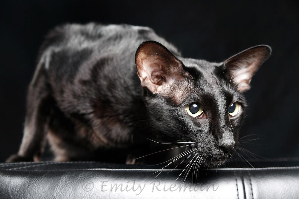 Shiny black cat